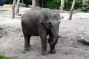 Thabo de baby olifant